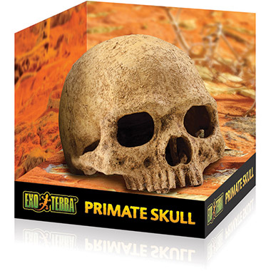 Primate Skull