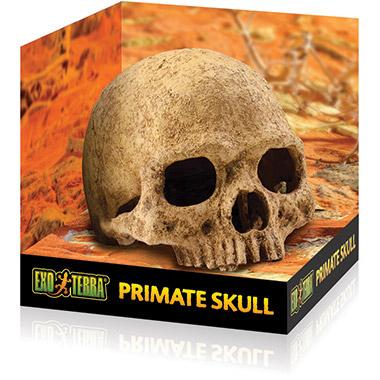 primate-skull