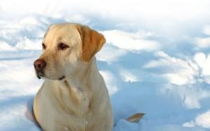 snow-dog