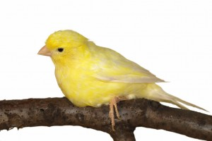 Habitat-Sweet-Habitat--Canaries
