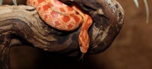 Habitat-Sweet-Habitat-King-Milk-Corn-Snakes