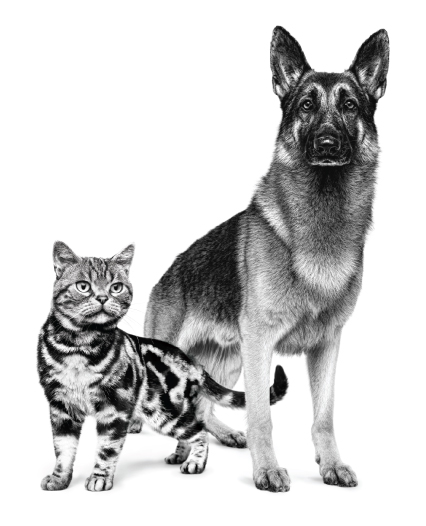 German Sheppard Dog and Striped Cat