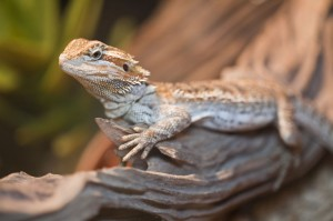 bearded dragon on a log