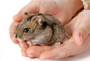 Dwarf Hamster in hands