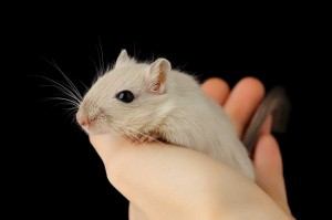 Fancy Mouse in a hand