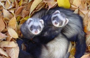 Two ferrets cuddled in leaves