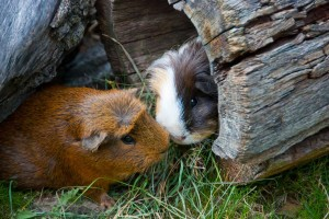 two Guinea Pigs in a log