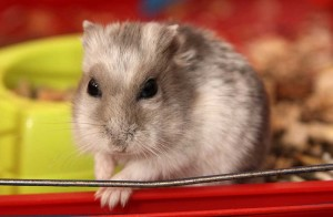 Dwarf Hamster in red cage