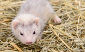 Ferret standing on straw