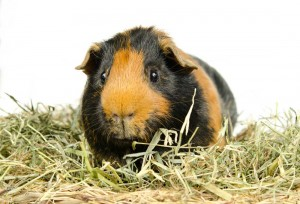 Guinea Pig sitting in straw
