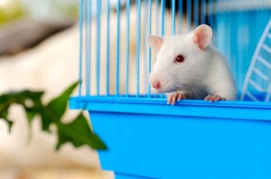 White Rat in blue cage