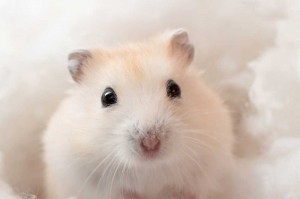 Light beige Hamster
