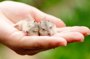 Two hamsters sleeping in a hand
