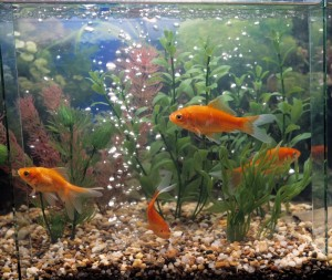 Four orange fish in a tank