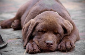 Sleeping brown puppy