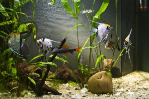 Angel fish in aquarium