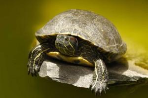 Turtle on a rock
