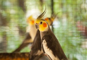 Two yellow and grey Cockatiels