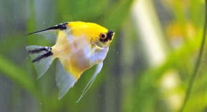 Yellow Angel Fish in Aquarium