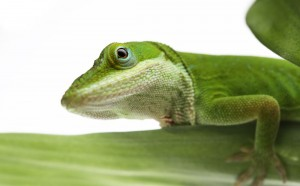 Green Anole on a leaf