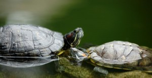 two turtles in habitat