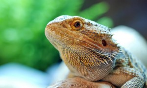 Bearded Dragon in habitat