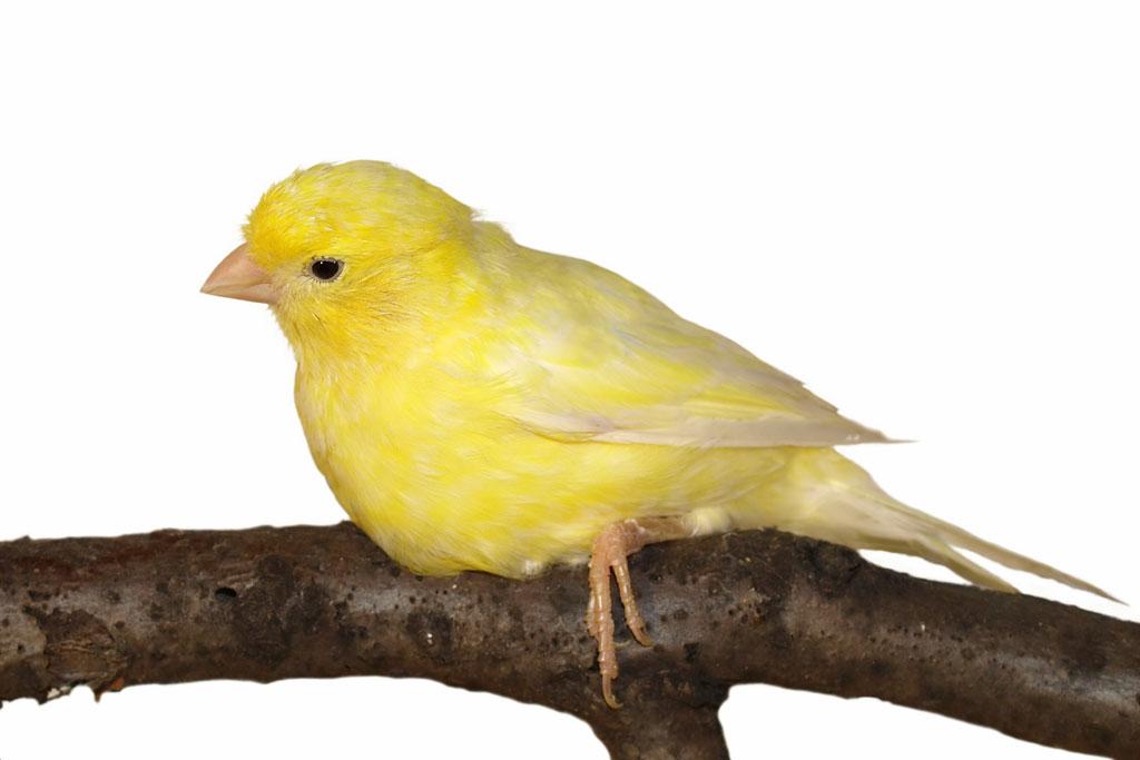 Habitat Sweet Habitat: Canaries