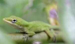 Green Anole in habitat