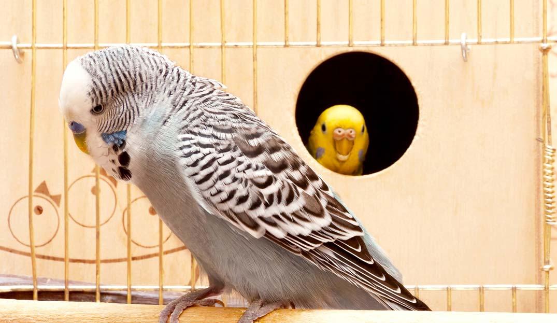 Habitat Sweet Habitat: Parakeets (Budgies)