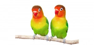 Two multicolour lovebirds on a branch