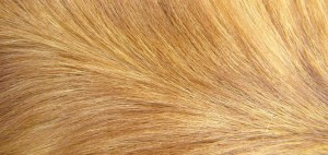 long golden fur pattern