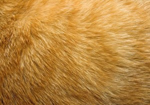 short golden fur pattern