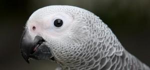 Grey parrot face