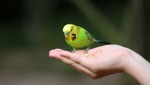 Parakeet eating seed from a hand