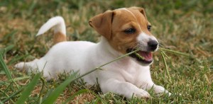 Why-Do-Dogs-Eat-Grass