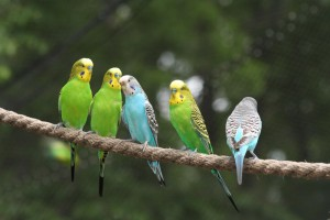 five budgies on a rope