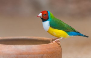 Colourful finch at bowl