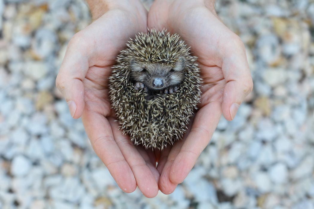 Hedgehogs: That's One Quilled Critter