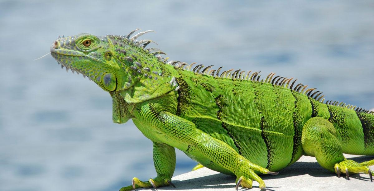Green Iguana 101