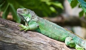 iguana on a log