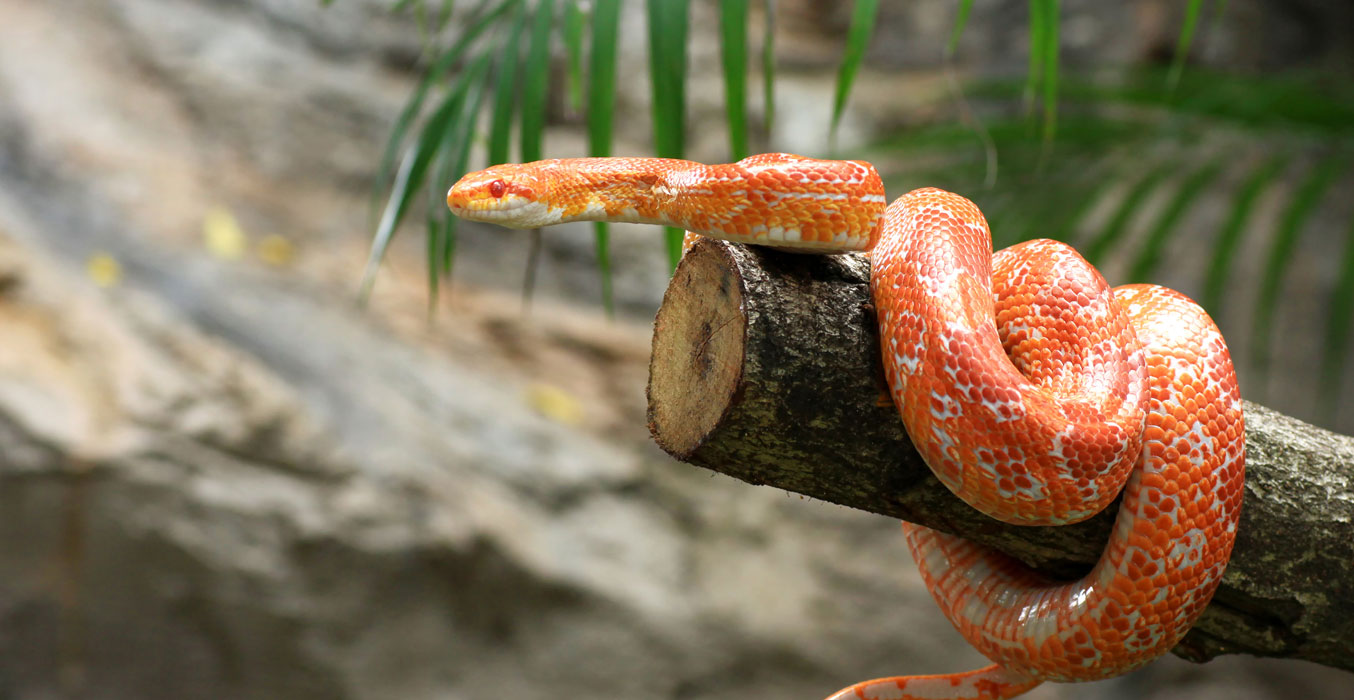 King, Milk & Corn Snake 101