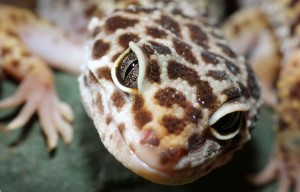 close up of Leopard Gecko's eyes
