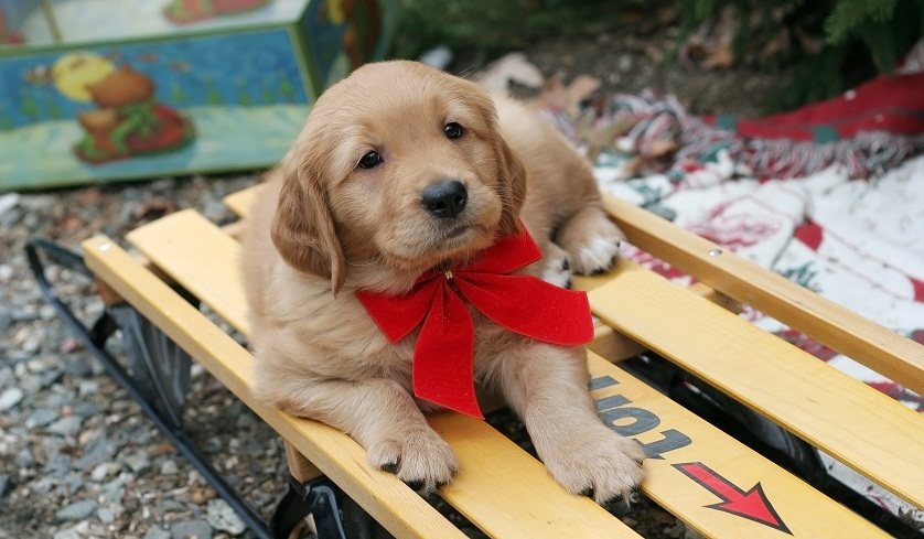 Puppy with Red Ribbon