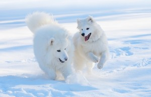 two white dogs frolicking in snow