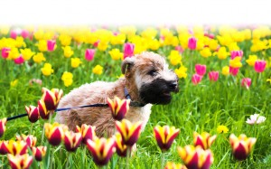 Dog running through tulips