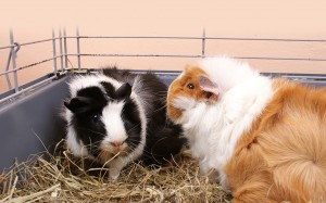 two guinea pigs in cage