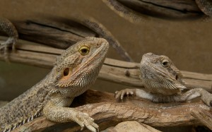 Two bearded dragons in a terrarium