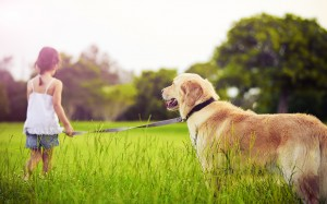 Little girl leading golden retriever on field