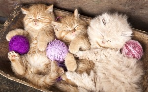 three kittens cuddled with balls of yarn