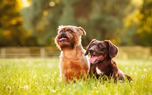 Two dogs sitting in grass